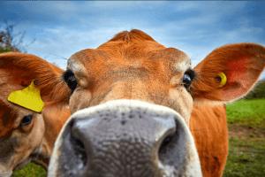 Bitcoin Bulls Just Got A New Friend - The Bitcoin Cow, Bitkoinka 101