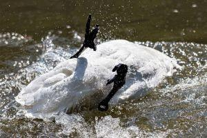 Taleb Releases a Dirty Swan Upon Bitcoin, Bitcoiners Were Fast to Clean It