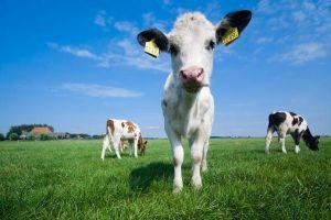 UK Farmers Use Cow Dung to Power Ethereum Mining, Boost Revenues